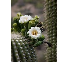 Magnificant Bloom of the Saguaro  Photographic Print