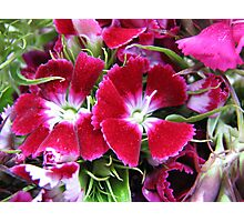 Dreamy Dianthus Photographic Print