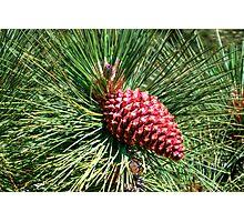 Beautiful Pine Photographic Print