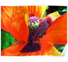 Poppy nectar Poster