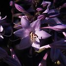 Purple Hosta by Sarah Tweedie