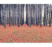 Rows of Pine Photographic Print