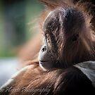 Baby Orangutan by Andrew Harris