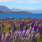 Lake Tekapo and wild flowering lupins by John Dalkin