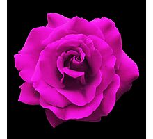 Single Pink Rose. Photographic Print