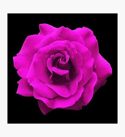 Single Pink Rose. Photographic Print
