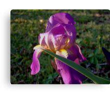 """""""Morning Iris"""" Canvas Print"""