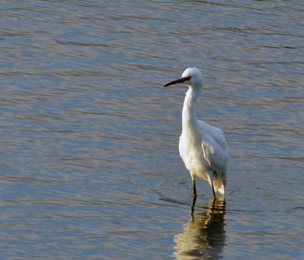 Little Egret (Egretta garzetta) by Chris Monks