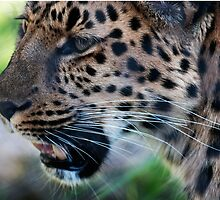 Annoyed Leopard by bjphotographs