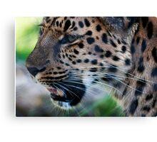 Annoyed Leopard Canvas Print
