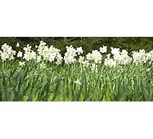 Field of Daffs Photographic Print