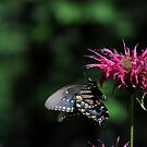 Spicebush Swallowtail by Anne Smyth