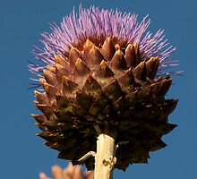 Huge thistle by yampy