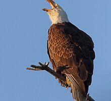 Bald Eagle at Sunset by William C. Gladish