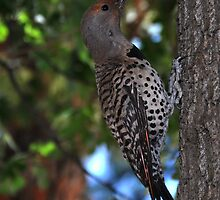 Picidae Northern Flicker (Colaptes auratus) by CanyonWind