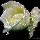White Rose by Lancastrian
