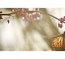 monarch sunlight  Photographic Print