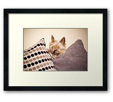 mini yorkie dog  between the cushions Framed Print