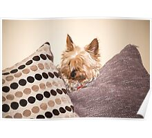 mini yorkie dog  between the cushions Poster