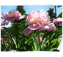 For the love of Peonies Poster