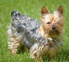 mini yorkie dog on the grass by morrbyte