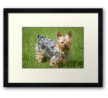 mini yorkie dog on the grass Framed Print