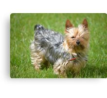 mini yorkie dog on the grass Canvas Print