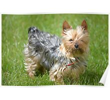 mini yorkie dog on the grass Poster