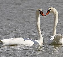 A wet water kiss for swan lovers ! by jozi1