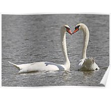 A wet water kiss for swan lovers ! Poster