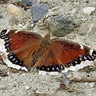Mourning Cloak Butterfly by Sharon Woerner