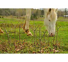 white horse  Photographic Print