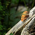 Question Mark Butterfly by Sharon Woerner
