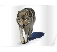 Walk on the Wildside - Timber Wolf Poster