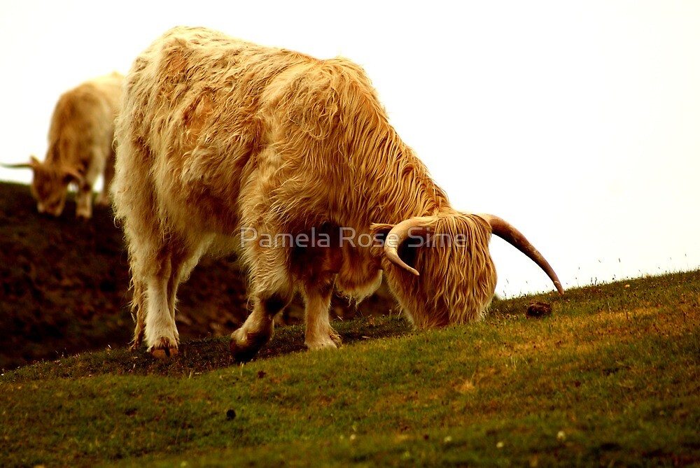 Highland Coo by Pamela Rose Sime
