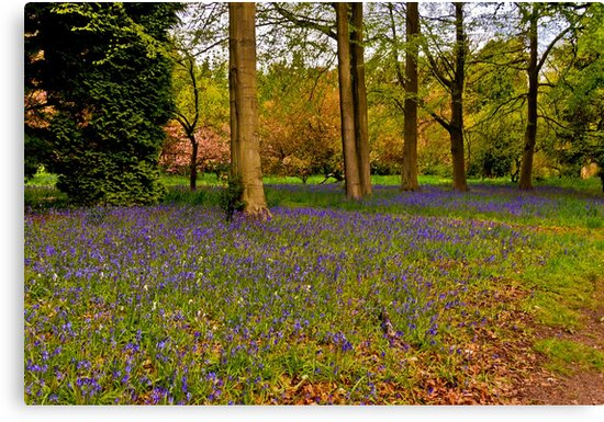Down in Bluebell Wood by Trevor Kersley
