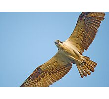 Looking Right at Me (Osprey) Photographic Print