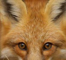 Red Fox close-up, Algonquin Park Sticker