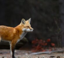 Red Fox Landscape - Algonquin Park, Canada Sticker