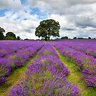 Mayfield Lavender by Rachael Talibart