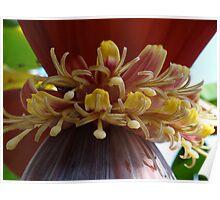 Banana-Tree's Perennial Herb - Mata Del Plátano Poster
