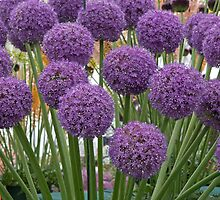 Allium Ambassador at the RHS Hampton Court Palace Flower show 2012 by Keith Larby