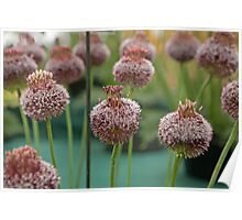 Allium Forelock at the RHS Hampton Court Palace flower show 2012 Poster