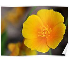 California Poppy in Texas Poster