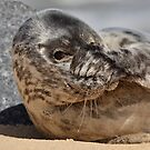 Peek-A-Boo Seal by Patricia Jacobs CPAGB