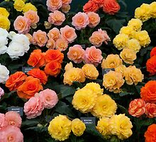 Mixed Begonias by Keith Larby