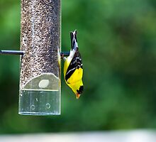 Goldfinch by Richard Lee