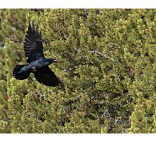 Raven Delivery Photographic Print