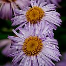 livingstone daisy by Moonlake