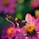 Silver-spotted Skipper by EkaterinaLa